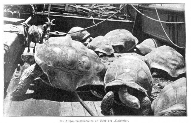 Elephant tortoise from the Seychelle Islands on board the VALDIVIA Picture