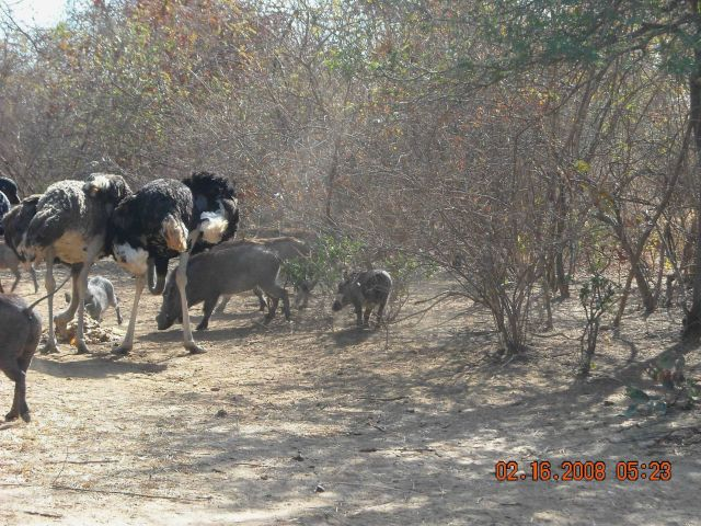 Tame ostriches and warthogs eating food provided by caretaker at Bandia Game Preserve. Picture