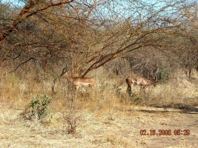 Impala grazing at the Bandia Game Preserve. Picture