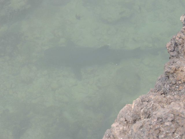 A white-tip shark seen in a narrow channel coming from the sea. Picture
