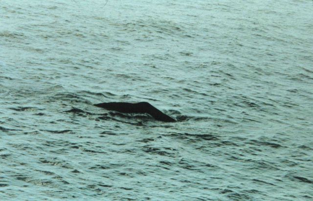 Sperm whale surfacing in the Gulf of Mexico. Picture