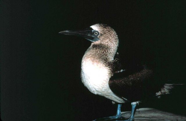 A blue-footed booby stops for a rest on the NOAA Ship RESEARCHER. Picture