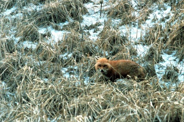 A fox in the scrub grass of an Aleutian Island. Picture