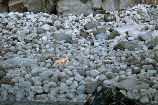 A fox on a boulder beach. Picture