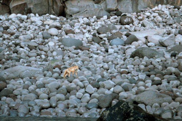 A fox on a boulder beach. Picture