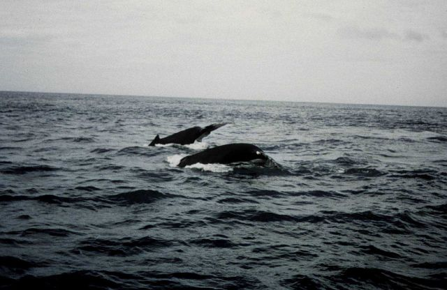 Humpback whales off Cape Cod. Picture