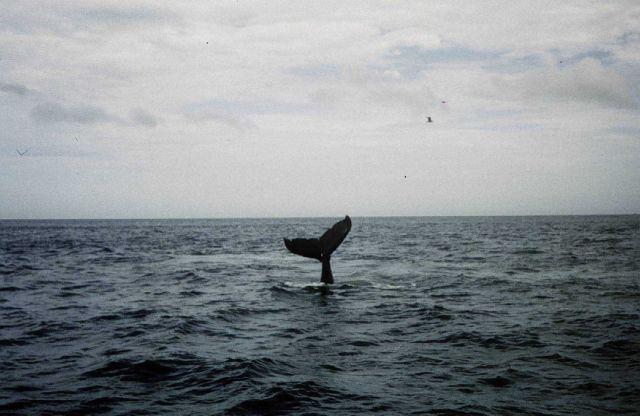 Humpback whale off Cape Cod Picture