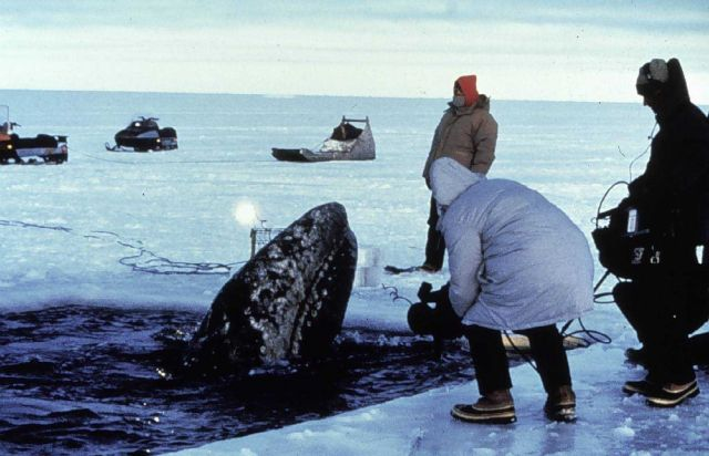 Gray whale trapped in the ice in the Bering Sea Picture