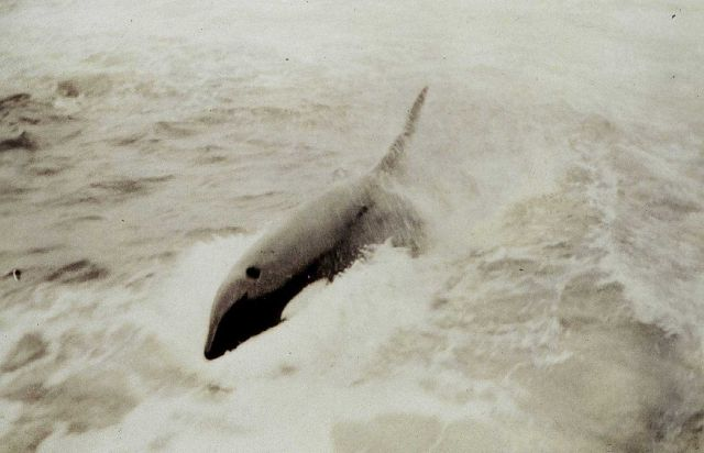 Killer whale in the Gulf of Alaska Picture