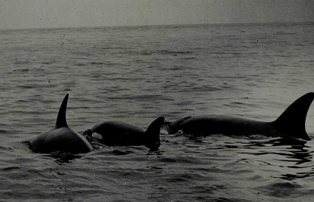 Killer whales in the Bering Sea. Picture