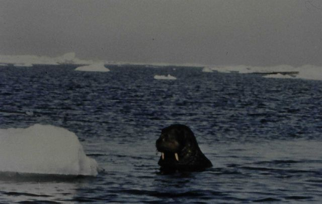 Walrus in water. Picture