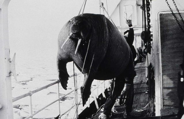 Walrus being brought aboard ship for study and dissection. Picture