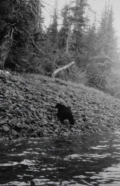 Black bear at triangulation station Patsy. Picture