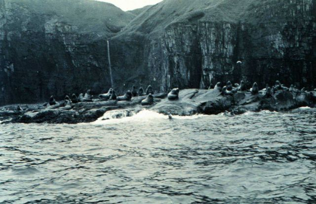 Sea lions (Eumetopias jubatus) at the east end of Amlia Island. Picture