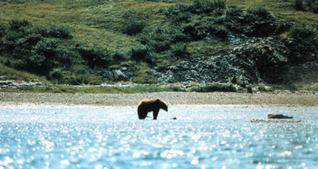 Alaska brown bear on tide flats. Picture