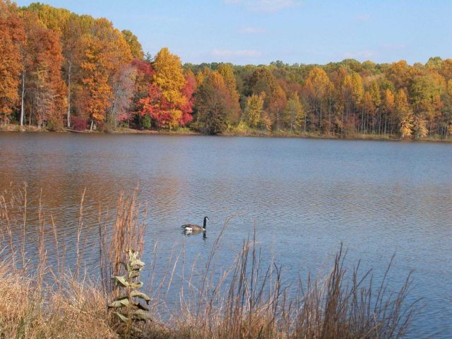 A lone Canada goose cruising along Clopper Lake with fall colors on the far shore. Picture