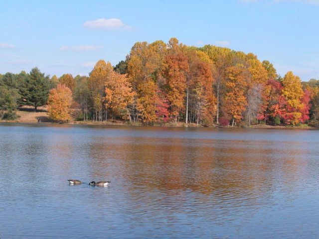 Canada geese and fall colors. Picture