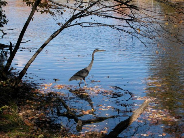 A great blue heron wading in the shallows of Clopper Lake. Picture