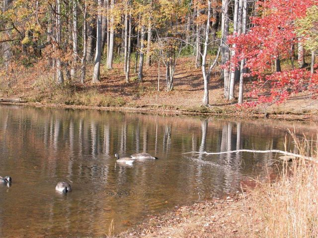 Canada geese leading the good life on Clopper Lake. Picture