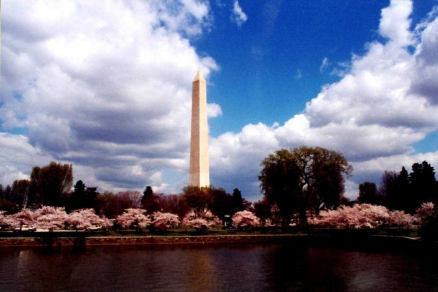 The Washington Monument seen rising above the Tidal Basin cherry blossoms. Picture