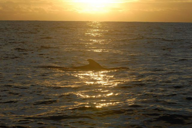 Marine mammal surfacing and illuminated by the setting sun. Picture