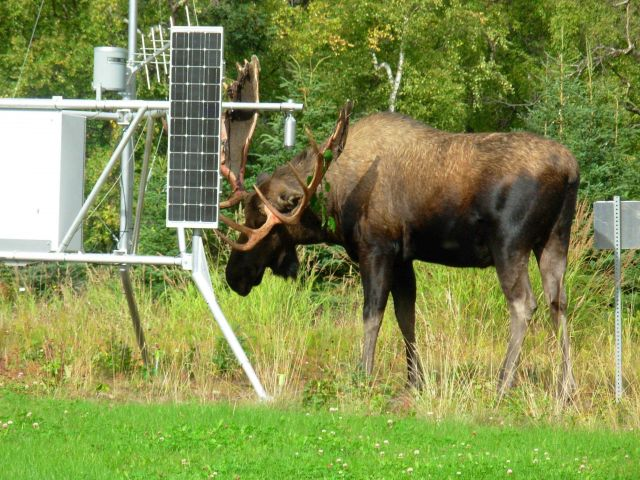 Moose finds new use for weather instruments at experimental Forest Service meteorological site. Picture
