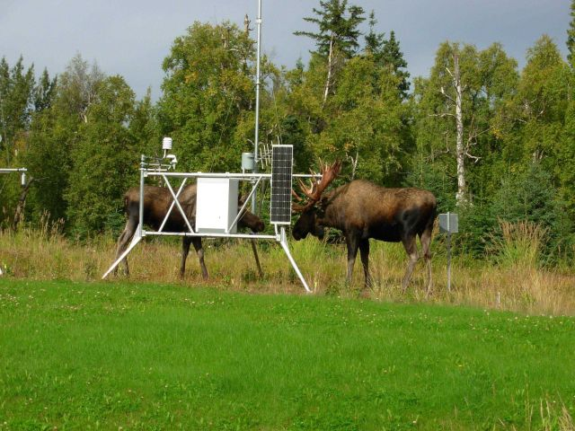 Moose find new use for weather instruments at experimental Forest Service meteorological site. Picture