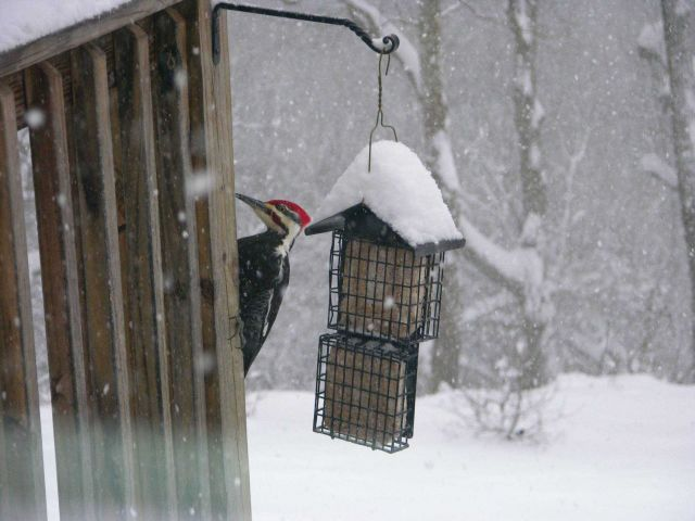 Pileated woodpecker in the great December 2009 snowstorm of the Mid-Atlantic states. Picture