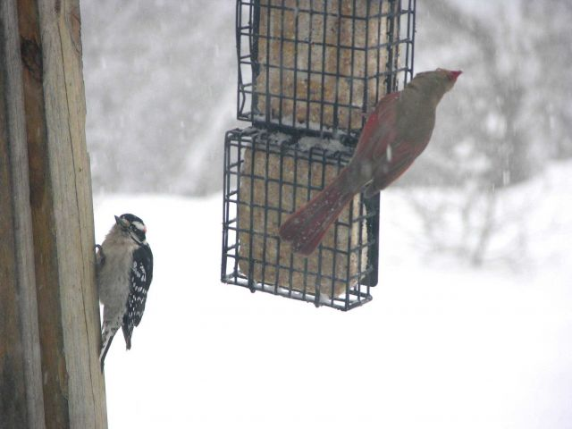 Downy woodpecker on left and cardinal on right during the great Mid-Atlantic snowstorm of December 2009. Picture