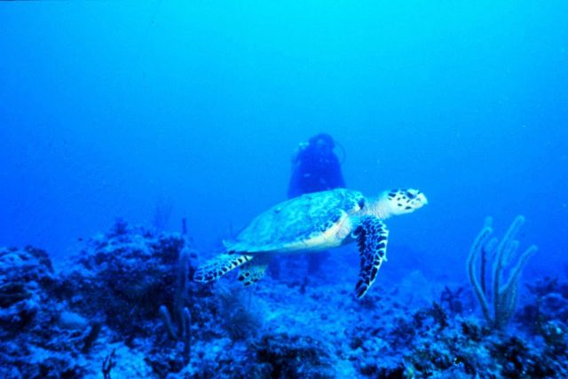 Endangered sea turtle cruises a coral reef in the Florida Keys. Picture