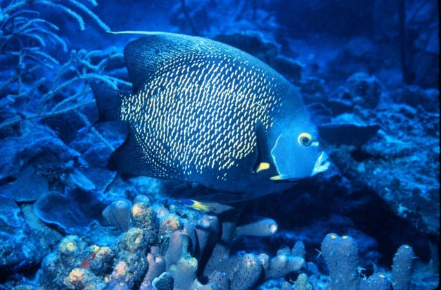 French angelfish are common on shallow tropical reefs Picture