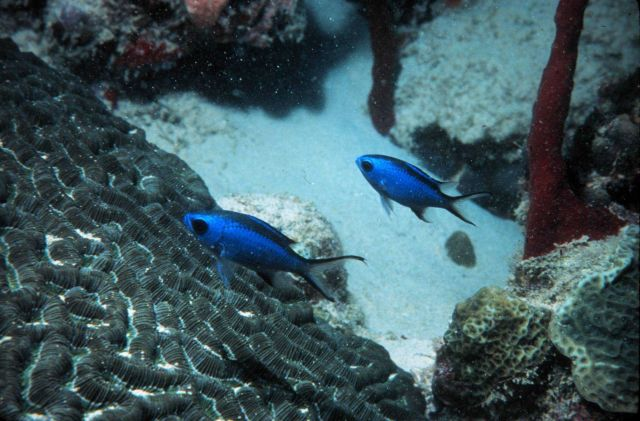 Blue chromis use corals for refuge from larger predators Picture