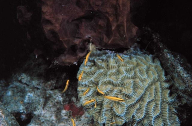 Yellow-headed wrasse hover over brain coral Picture