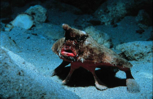 Bat-fish, wearing too much make-up, poses to intimidate Picture