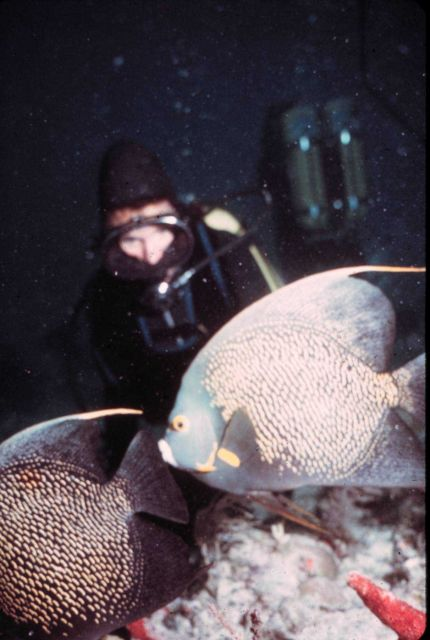 Diver observes French angelfish Picture