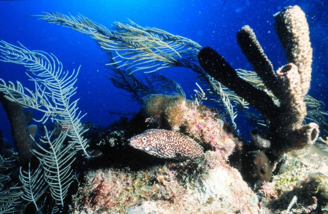 Spotted moray eel slithers among the reef growth Picture