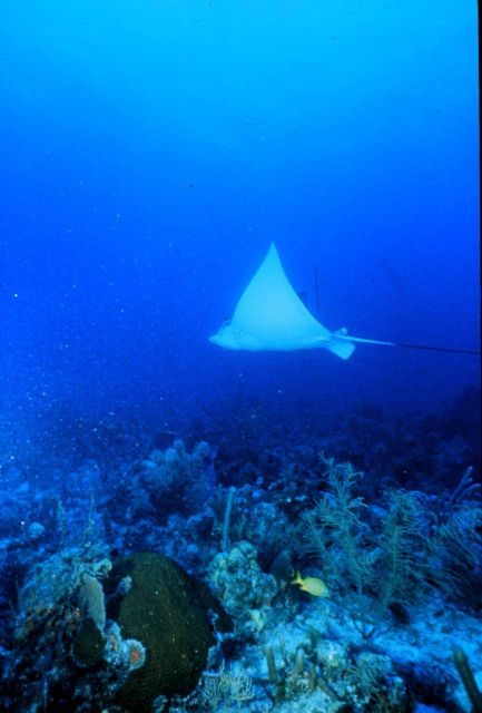 Spotted eagle ray soars over Florida Keys reefs Picture