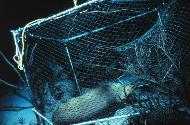 Green moray eel caught in a fish trap eats the other inmates Picture