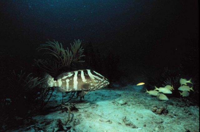 Nassau grouper eyeing its next meal Picture