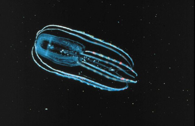 Lobate ctenophores are translucent and give off a bioluminescent glow Picture