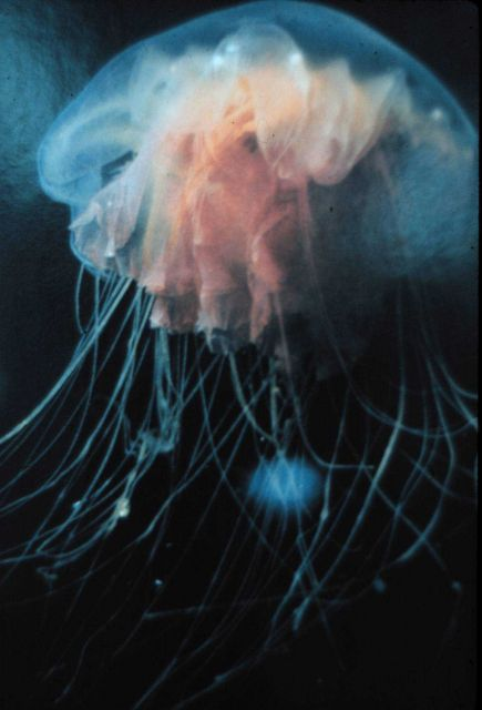 Jellyfish floating under Arctic ice. Picture