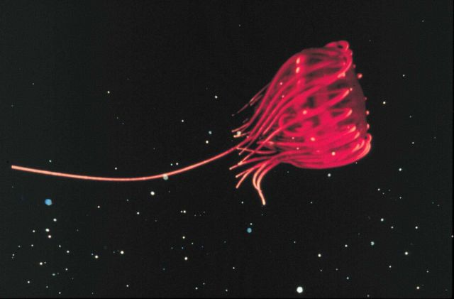 Jellyfish and their plankton prey concentrate along invisible water boundaries. Picture