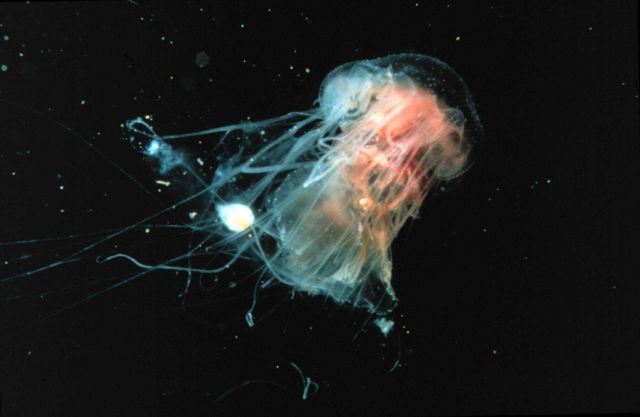Cyanea jellyfish are common on the New England coast in summer. Picture