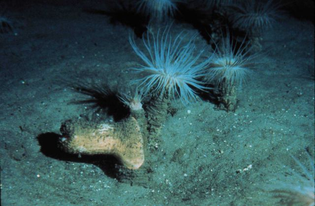 Cerianthid anemones are common on the continental slope in the north Atlantic Picture