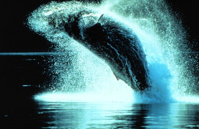 Humpback whales can leap clear out of the water Picture