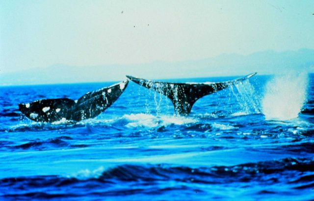 Humpback whales often flap their tails or fins on the water surface Picture