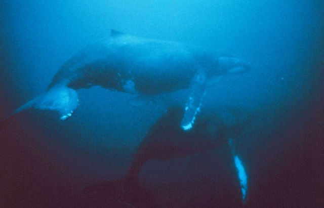 Humpback whales migrate from near the poles to tropical waters Picture