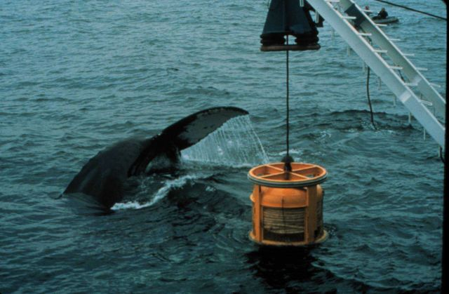 Humpback whale is attracted to an ROV, or undersea robot Picture