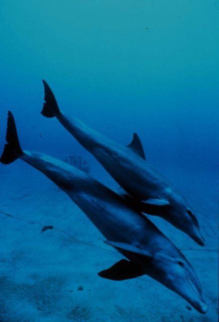 Mother and juvenile bottlenose dolphins head to the seafloor Picture
