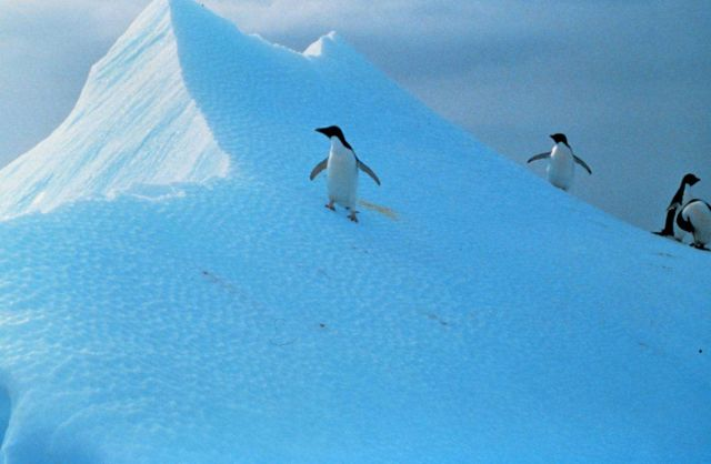 Penguins explore snow-dunes in Antarctica Picture